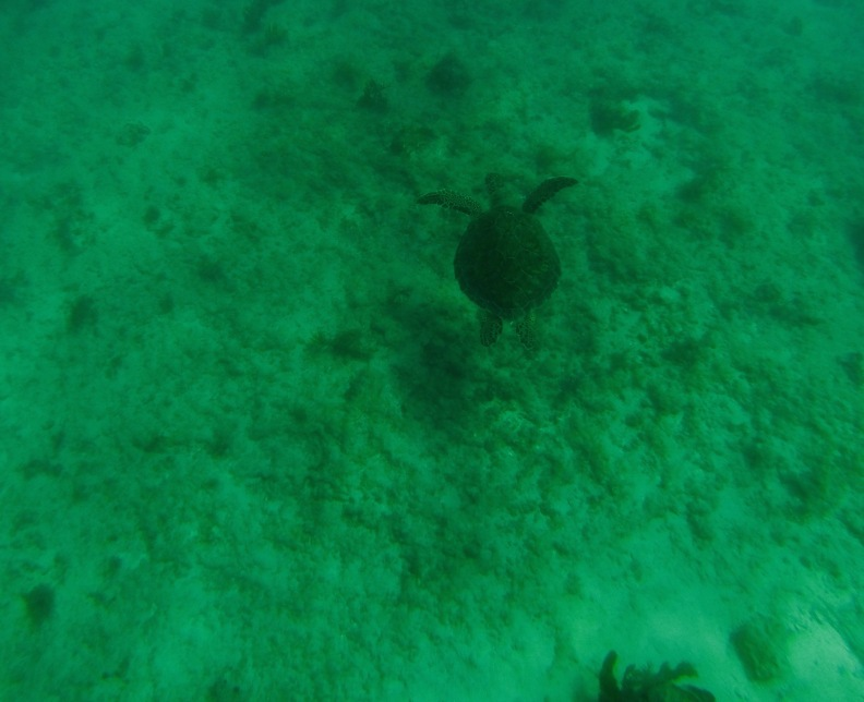 A lone tortuga being a tortuga in the warm waters of Puerto Morelos.