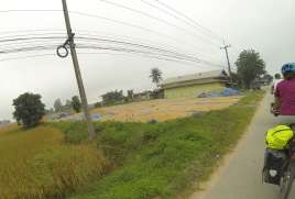 The rice harvest continues -- we saw rice curing on tarps everywhere.